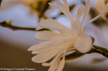 Tulip Magnolia Branches