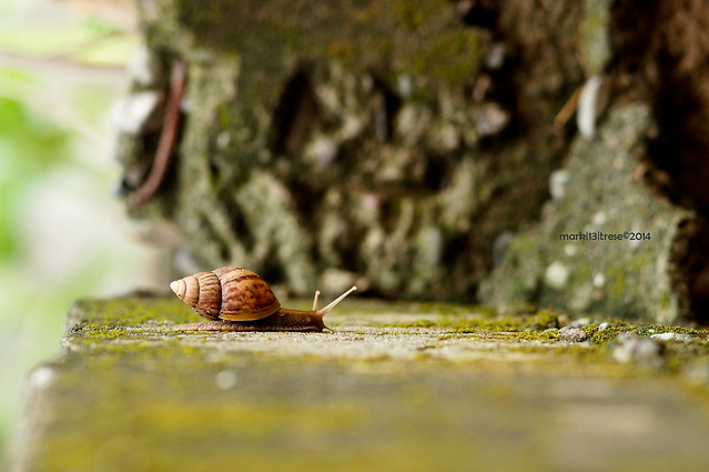 macro of a snail passing by on a moss filled stone wall