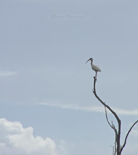 american white ibis 0000 Everglades, Florida, USA