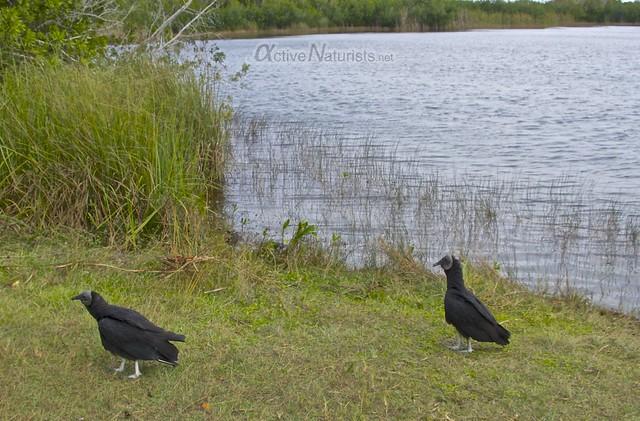 american black vultures & alligator 0000 Everglades, Florida, USA