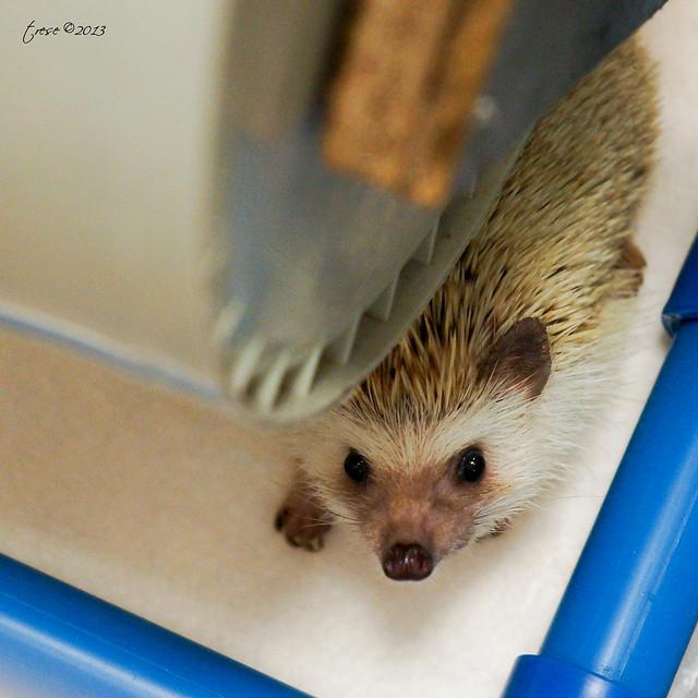 Botan the hedgehog hiding under her wheel