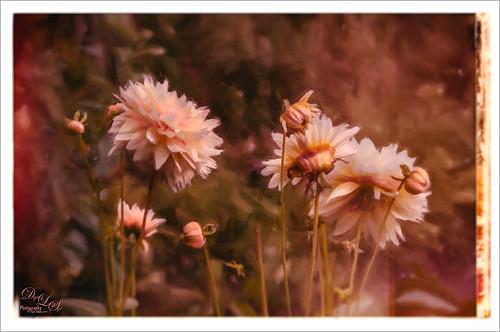 Image of Pink Chrysanthemums in Belarus