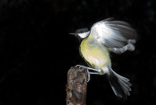 Great Tit by jonny.andrews65