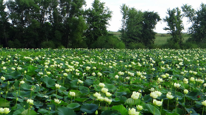 DSC03708 8 fld of ylw lotus yellow lotus,  busch 200713