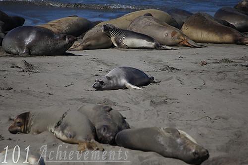 Piedras Blancas Seal Rookery