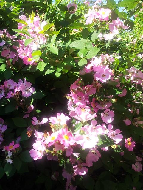 Prairie Rose 2013