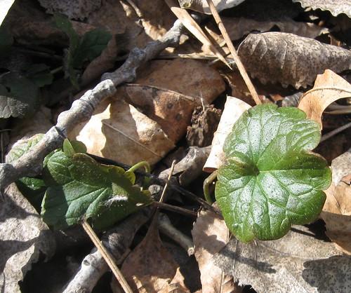 Leaf, Starkweather Creek
