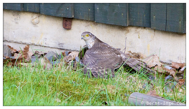 Sparrow Hawk / Spurvehauk