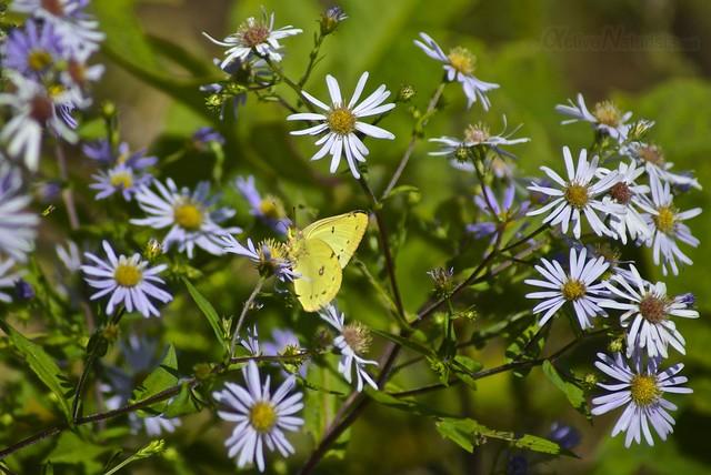 butterflies 0001 Adirondack, NY, USA
