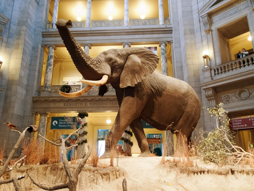 Elephant, Smithsonian National Museum of Natural History.