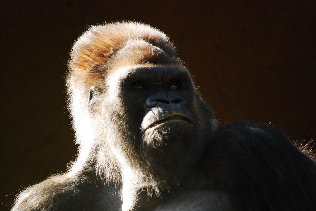 Imagen gratis de un gorila