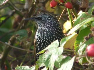 Starling in bush