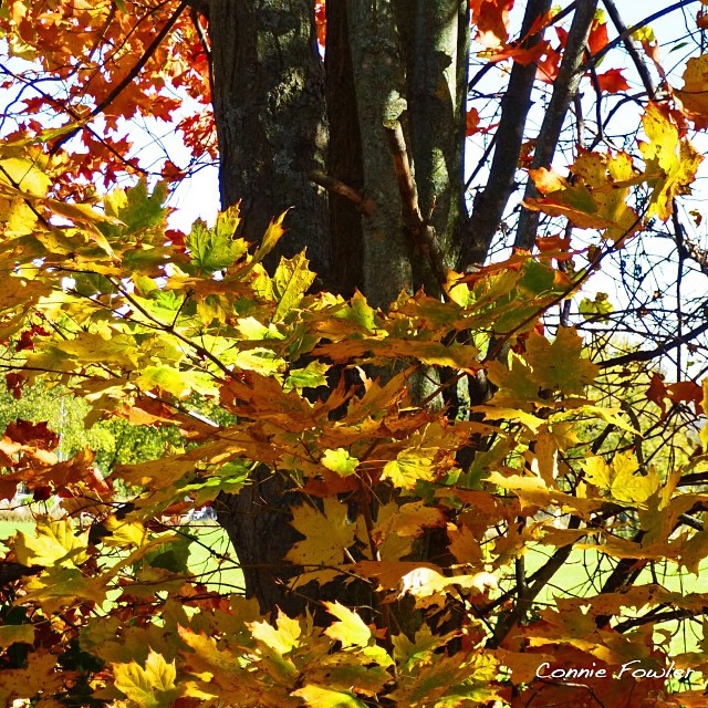 Oct 16 - leafy {some if the great fall colors here in Ontario, Canada.} #fmsphotoaday #leafy #trees #leaves #fall #autumn #gold #sunshine
