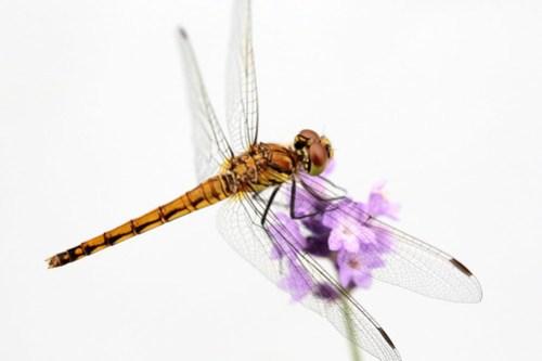 dragonfly トンボ