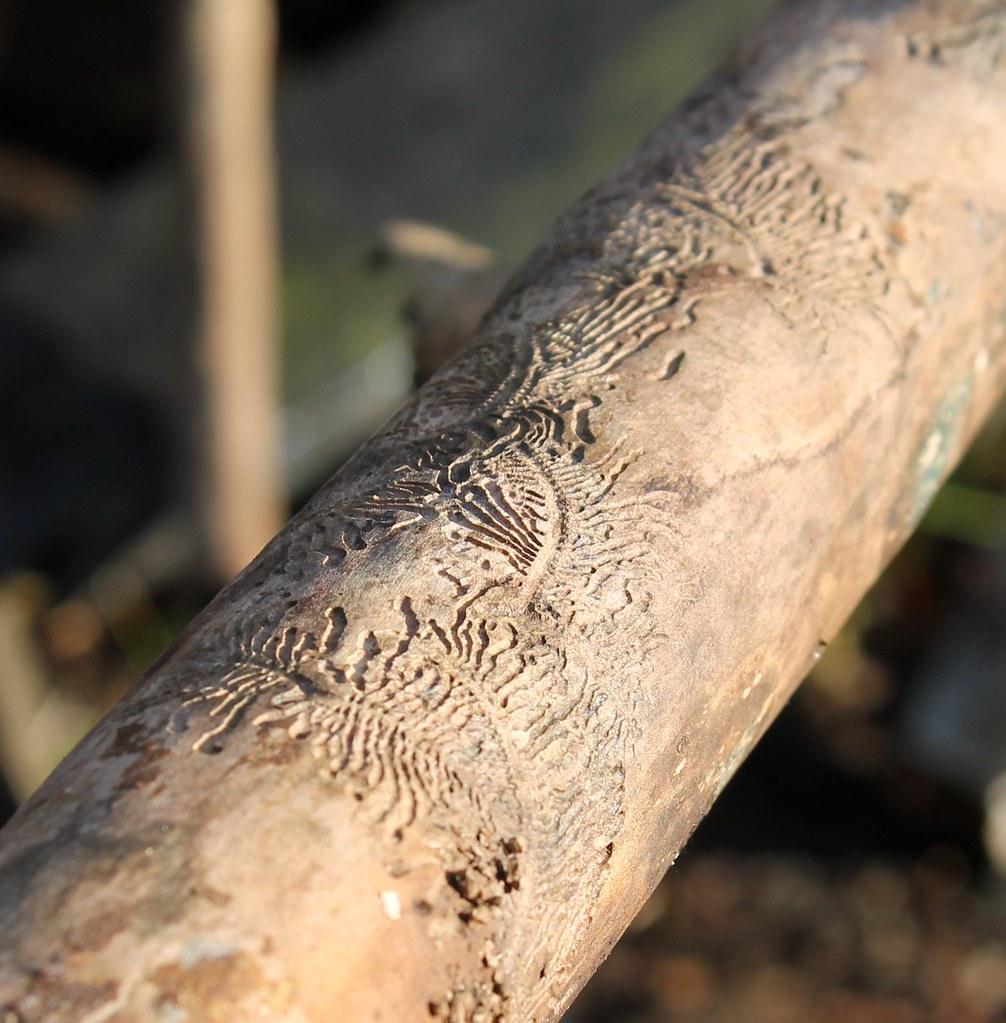 beetle pattern on wood 2