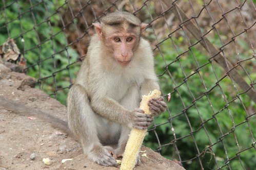 Monkey eating human food