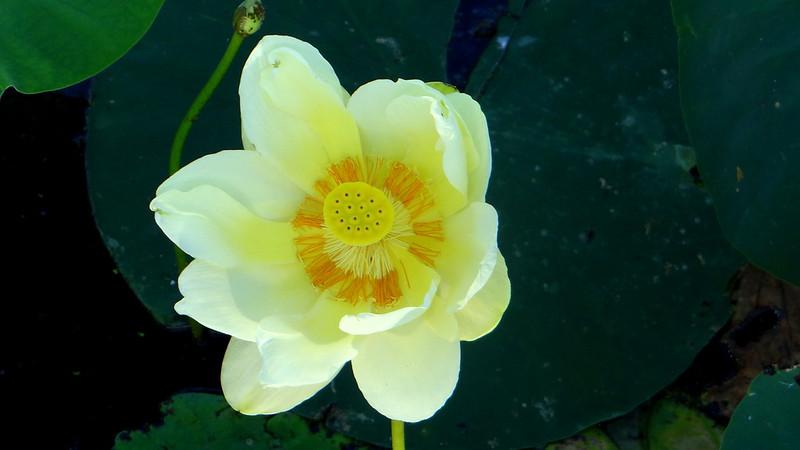 3 yellow lotus,  busch 200713