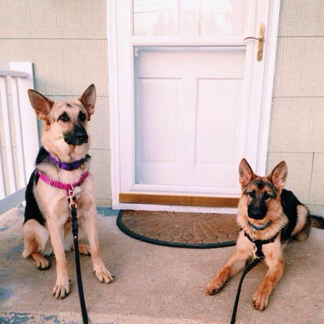 Babies on front porch after #dailywalk. #germanshepherds