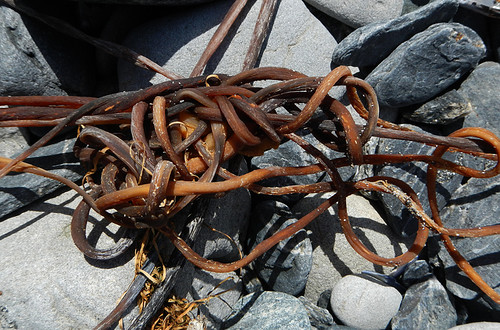 Kelp Tangle at Botanical Beach