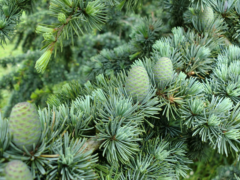 Conifer Cones