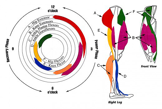 Leg Muscles Use In The Cycling Pedal Stroke - hubpages.com