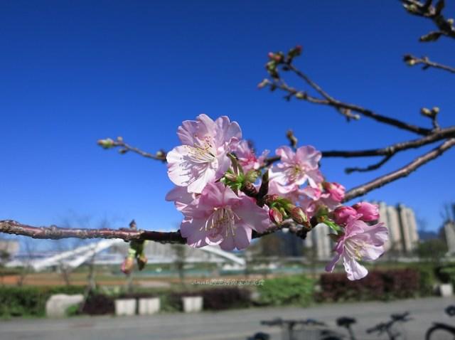 2014櫻花-陽光公園 (34)