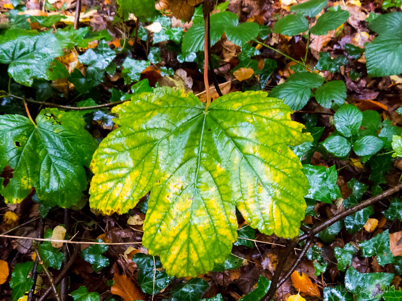 Sycamore Leaf in the rain