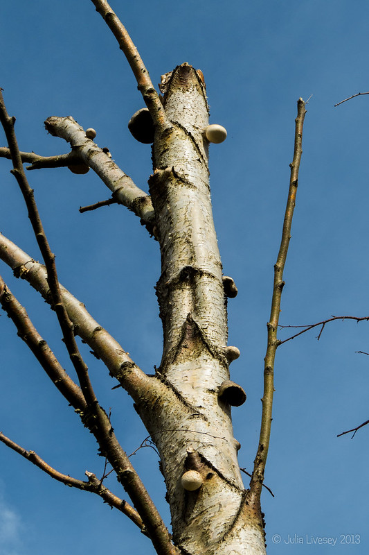 Fungi growing up a silver birch