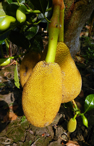 Jackfruit tree in the Mekong Delta, Vietnam