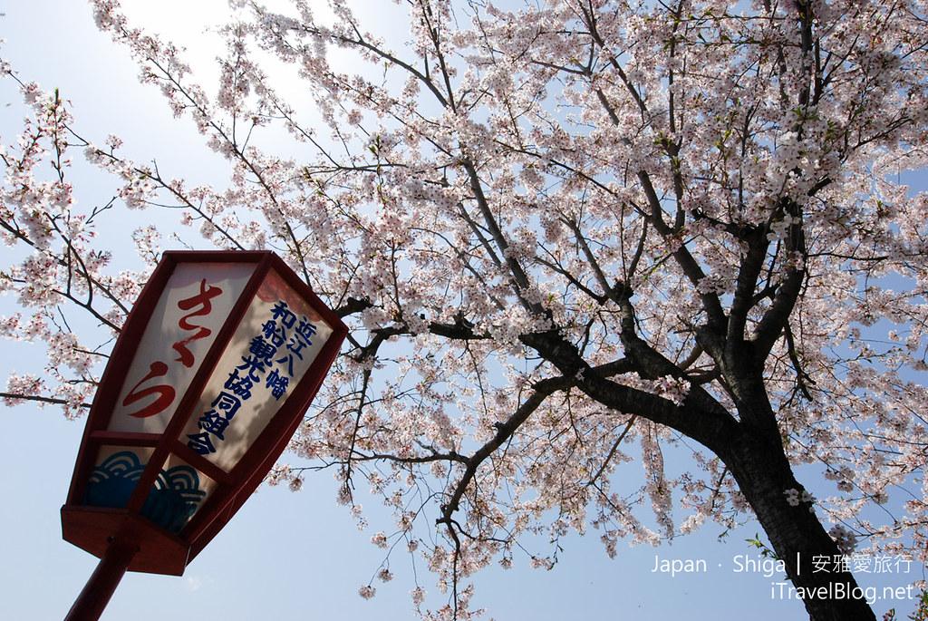 滋贺 近江八幡 樱花