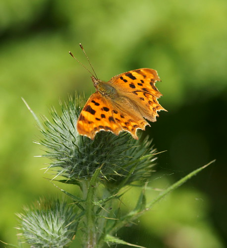 Comma (Polygonia c-album