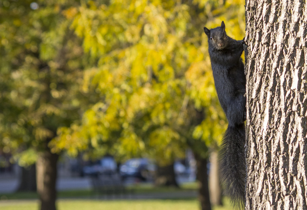 Black Squirrel on tree