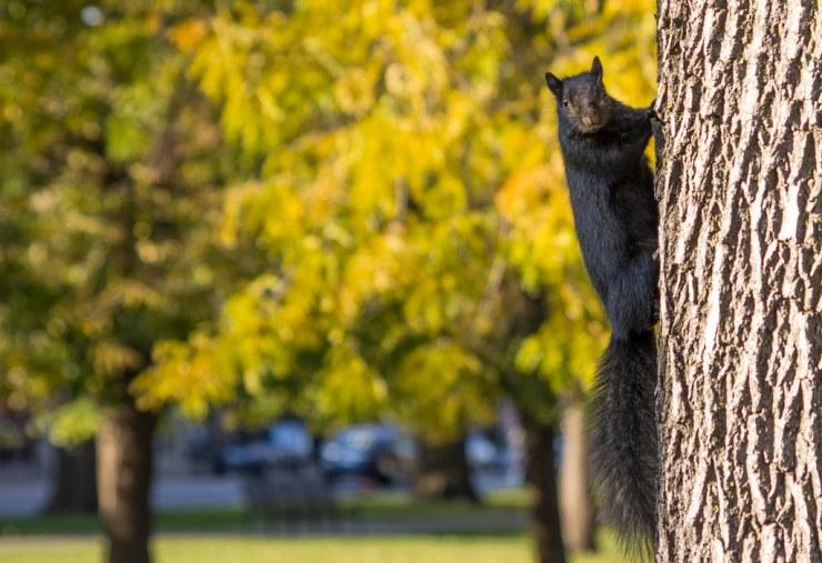 Black Squirrel on tree