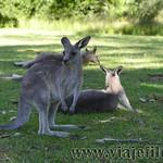 01 Viajefilos en Australia. Morriset 10
