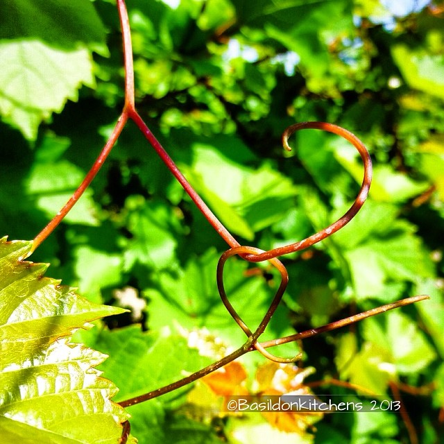 Oct 26 - curlicue {Baco Noir vines at a local winery} #photoaday #curlicue #vines #baconoir #waupoos #titlefx