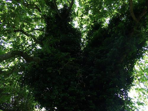 ivied tree
