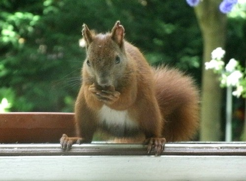 Eichhörnchen mit Nuss 1