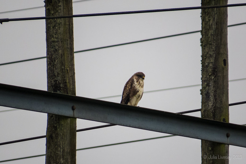 The buzzard is back again