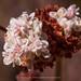 Eriogonum fasciculatum (California Buckwheat)