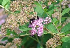 Bumblebee on spirea