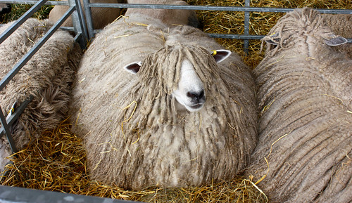 Hippy sheep at the Great Yorkshire Show