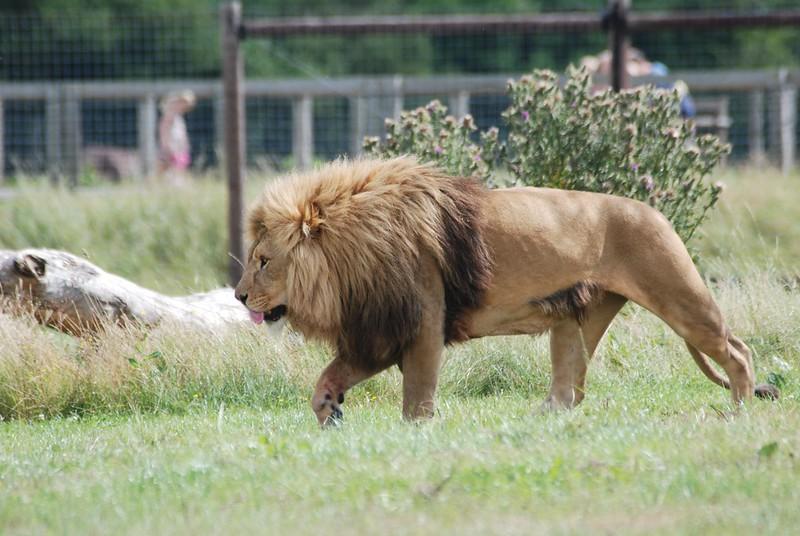 Löwe im Yorkshire Wildlife Park