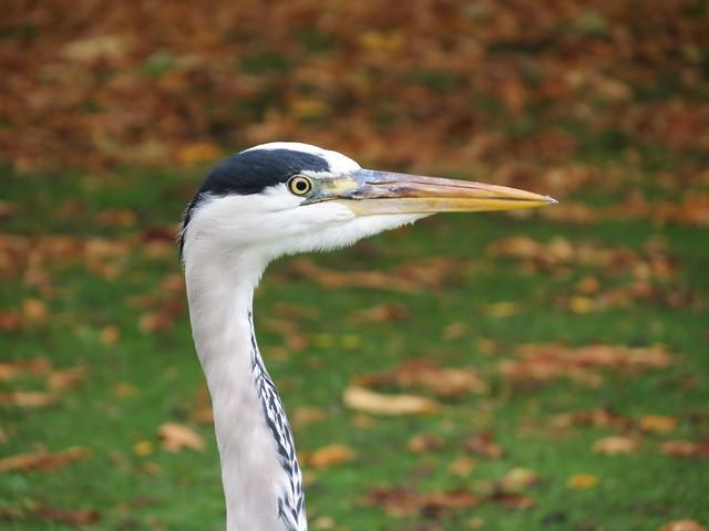 Grey heron, Regent's Park