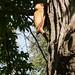 Petworth House : Woodpecker