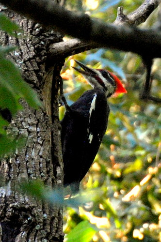 Pileated by ambermae