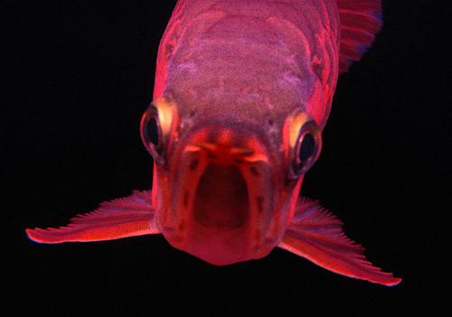 Red Dragonfish OMG