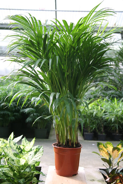 areca_lutescens_(dypsis_lutescens)002