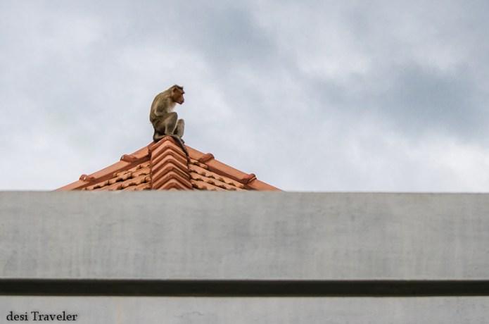 bonnet macaque bandipur tiger reserve