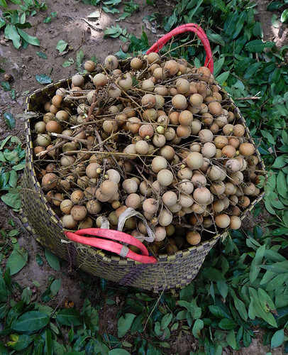 Just-picked longan in orchard by the Mekong