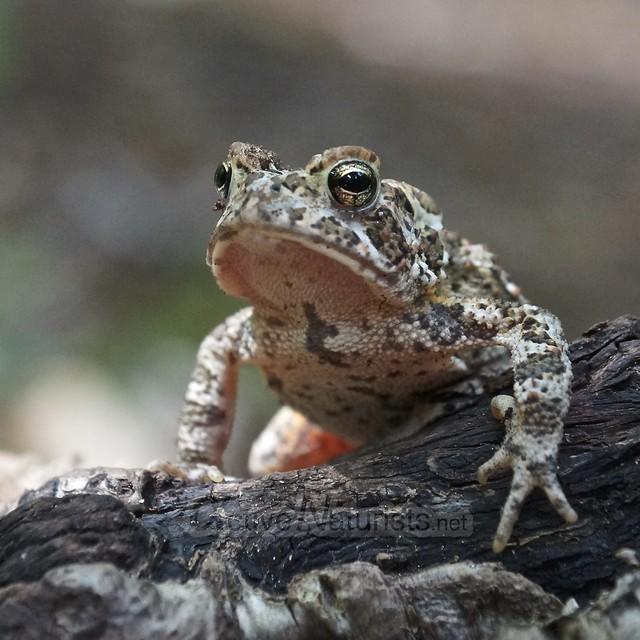 toad 0000 Adirondack, NY, USA